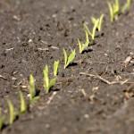 Closeup of new corn plants