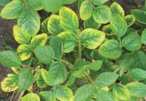 Nitrogen Deficiency in Soybeans