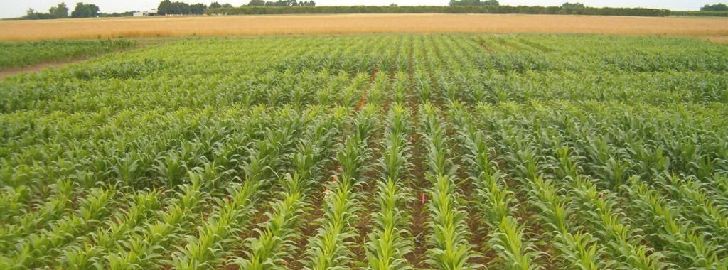 N Deficiency in Corn