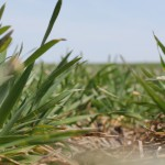 Wheat SS