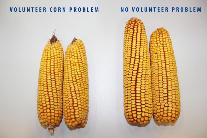 volunteer corn
