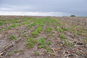Weed problems persist from one season to the next when not rotating crops.