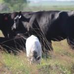 Cattle Grazing SS