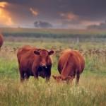 Slidder-cows