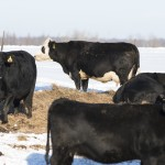 Black Angus Beef Cattle in the winter on a Minnesota Farm
